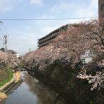 大岡川『桜祭り』